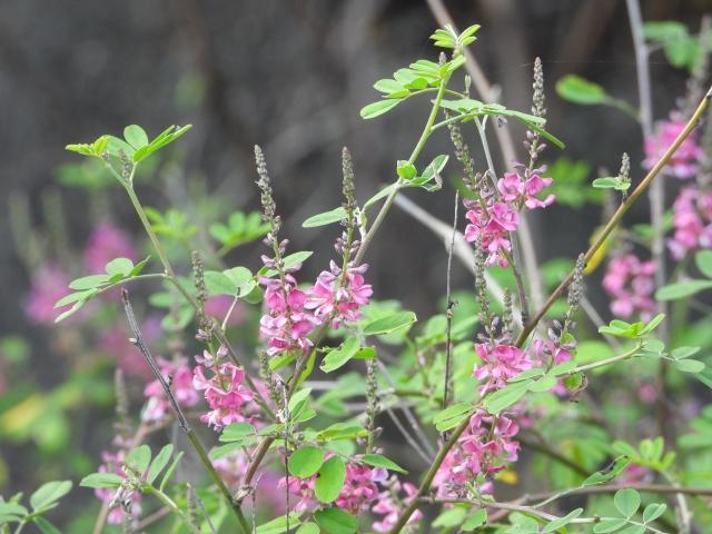 コマツナギ(駒繋ぎ)とは?特徴や花言葉をご紹介!似た花はどれ?