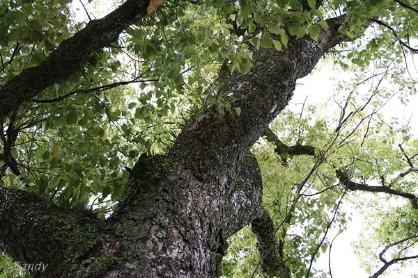 クスノキってどんな木?樹木としての特徴や用途・利用法などを解説!