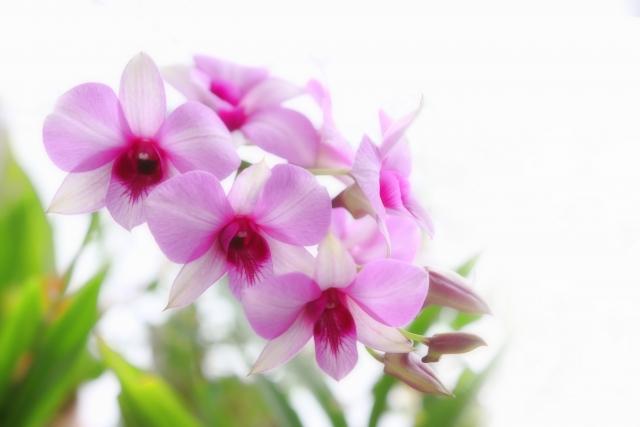 デンファレとは?その特徴・種類や花言葉と育て方をご紹介!