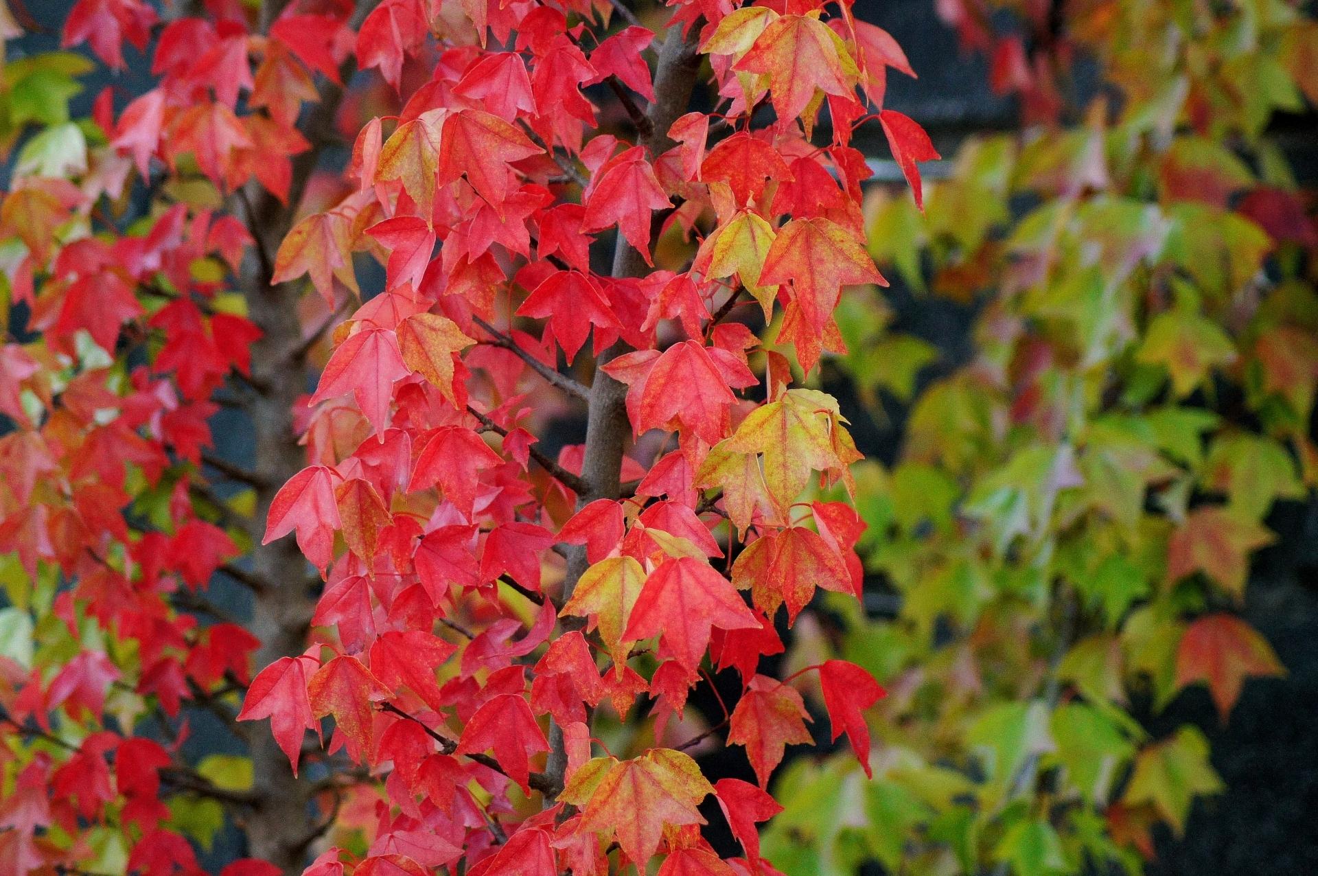 トウカエデ(唐楓)とは?街路樹にも利用される樹木の特徴をご紹介!