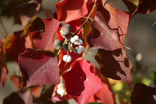 ナンキンハゼとは?紅葉が美しい樹木の特徴や育て方をご紹介!