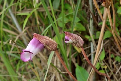 ナンバンギセルとは?寄生植物ってホント?その特徴や育て方を解説!