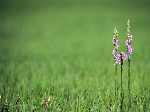 ネジバナってどんな花?螺旋などの特徴や園芸種としての育て方を紹介!