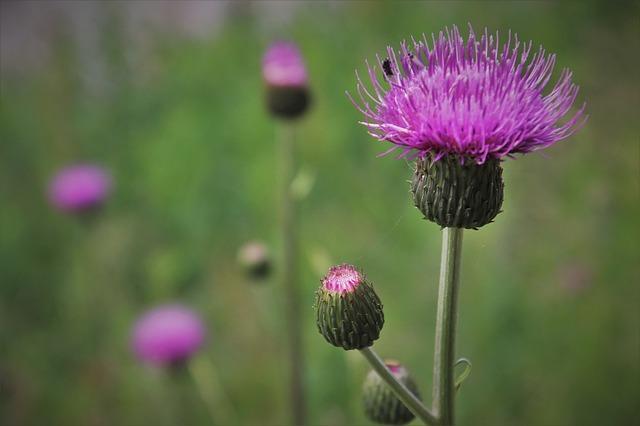 ノアザミ(野薊)とは?花や葉の特徴をご紹介!アザミとの違いは?