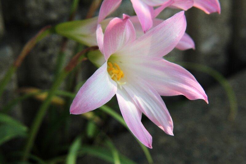 ハブランサスの育て方!植え付けから開花するまでの管理の仕方を解説!