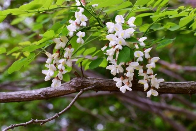 ハリエンジュとは?街路樹にも利用される樹木の特徴や育て方を紹介!