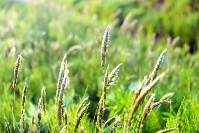 ハルガヤとは?その特徴・生態や雑草としての防除方法をご紹介!