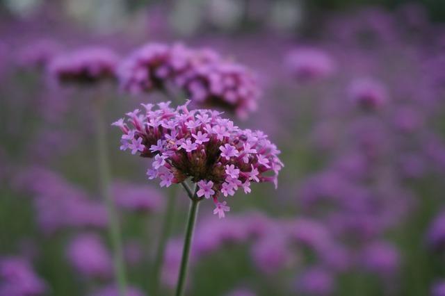 三尺バーベナとは?紫の花の特徴や育て方をご紹介!