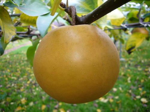 梨の旬な時期はいつ?主な品種の収穫時期や食べ頃の見分け方を解説!