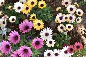 オステオスペルマムとは?花の特徴や切り戻し方法など育て方を解説!