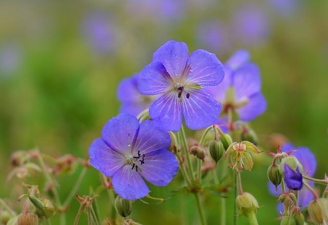 ゲラニウム(高性種)とは?花の特徴や育て方・管理方法をご紹介!