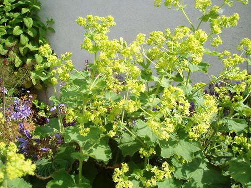 アルケミラモリスの育て方!手入れのコツや切り花の活用方法を紹介!