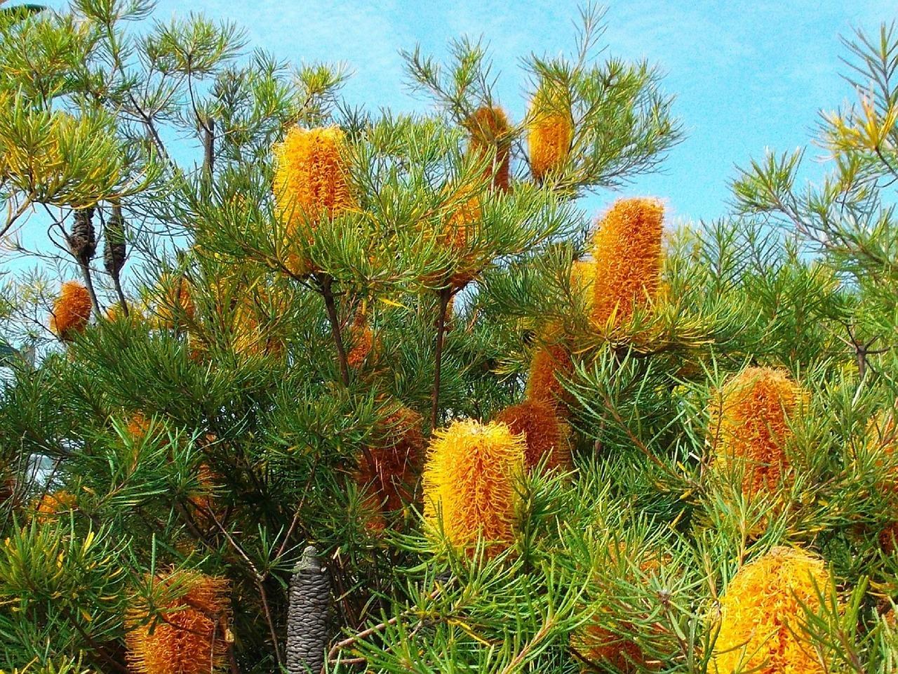 バンクシアとは?見た目が印象的な花の特徴や上手な育て方をご紹介!