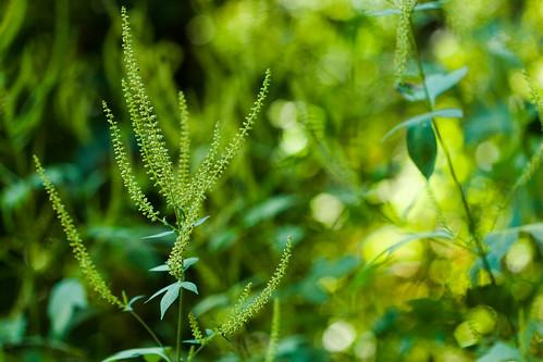 オオブタクサとは?外来植物として特徴や駆除方法について解説!