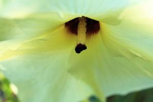 黄蜀葵(おうしょっき)とは?開花季節や効果・薬効をご紹介!
