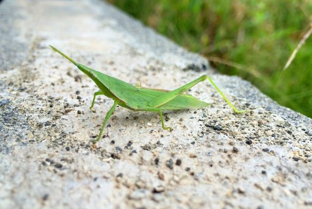 飛蝗とは?その読み方・特徴や害虫としての駆除方法をご紹介!