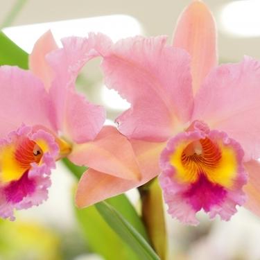カトレアの花言葉を種類別・色別に紹介!特徴や開花時期も併せて解説!
