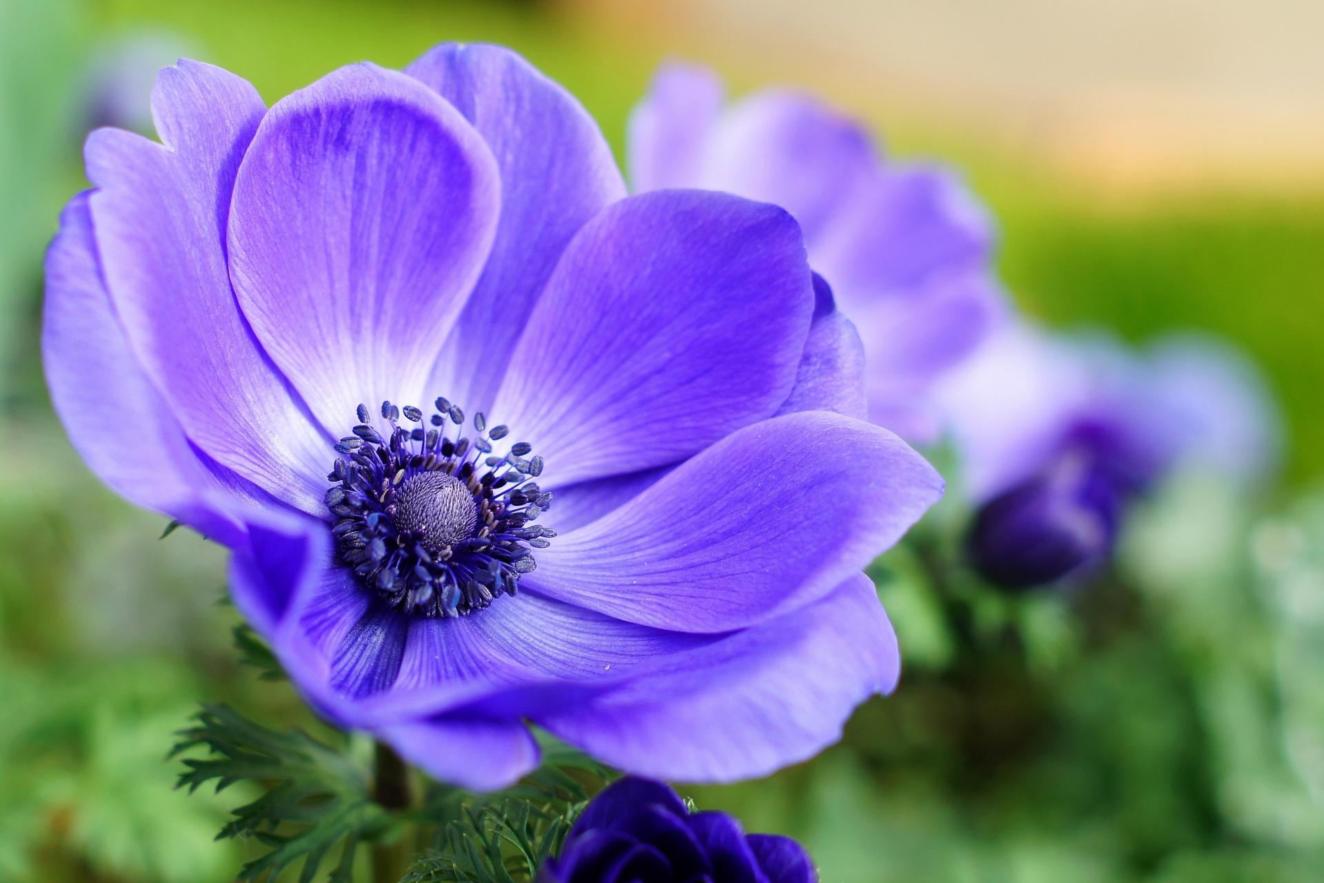 アネモネの花言葉!白・赤・ピンク・青など種類や色別に意味を解説!