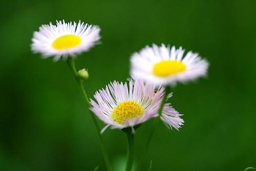 ハルジオンに花言葉はある?貧乏草とも呼ばれる理由もご紹介!