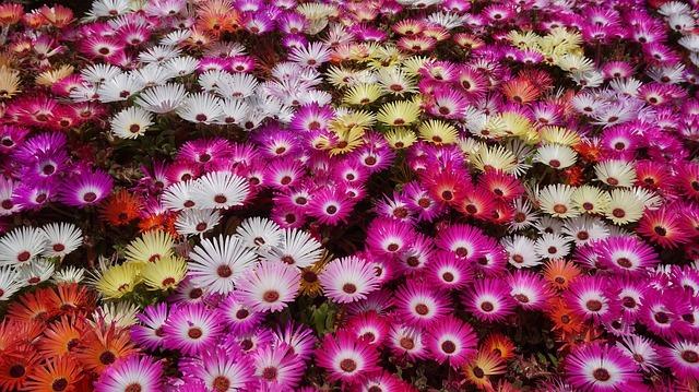 デイジー(雛菊)の花言葉!名前の由来や種類・色別の意味をご紹介!
