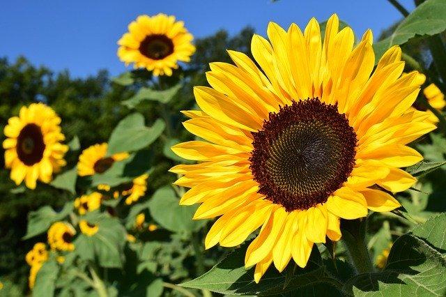 ひまわりの花言葉は?太陽との関係や色別・本数別の意味をご紹介!