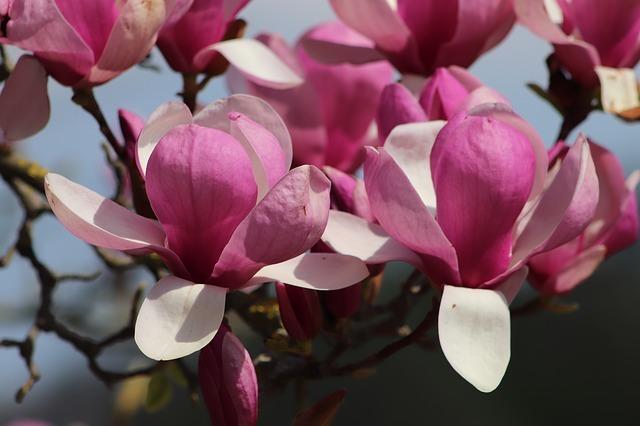 木蓮(モクレン)の花言葉とは?種類や色別の意味をご紹介!