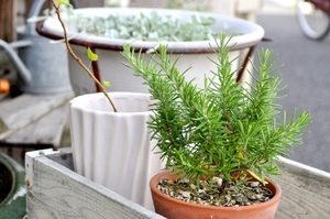 ローズマリーを挿し木で増やす方法!発根のポイントなどを詳しく解説!