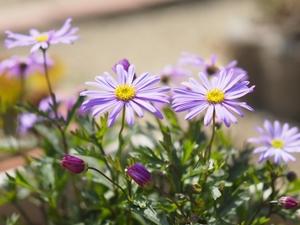 ブラキカムとは?種類や花言葉&上手な手入れの仕方など育て方を解説!