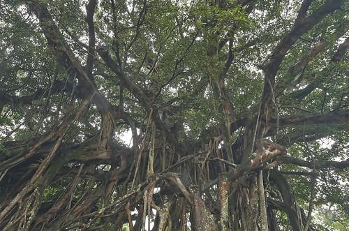 ガジュマルの挿し木での増やし方!根や幹を太く大きくさせるコツは何?