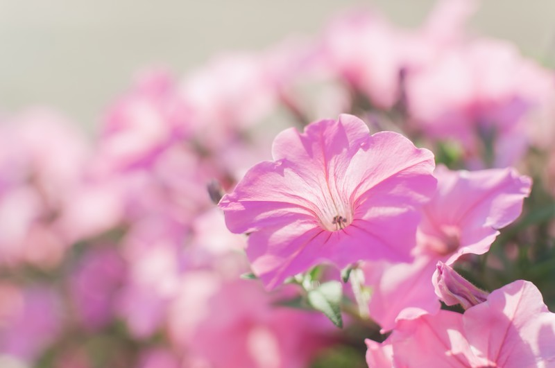 ペチュニアの花言葉とは?白・紫・ピンクなど色別・種類別にご紹介!