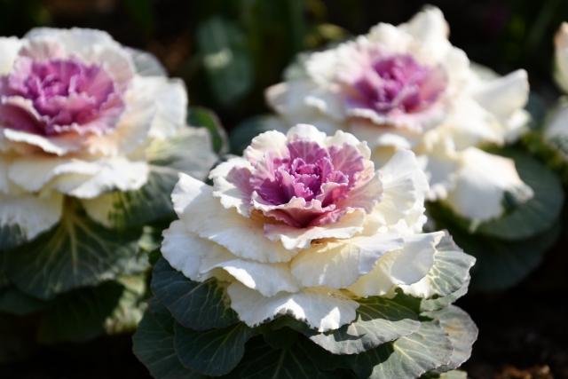 葉牡丹の花言葉とは?キャベツのような植物の種類や特徴も併せて解説!