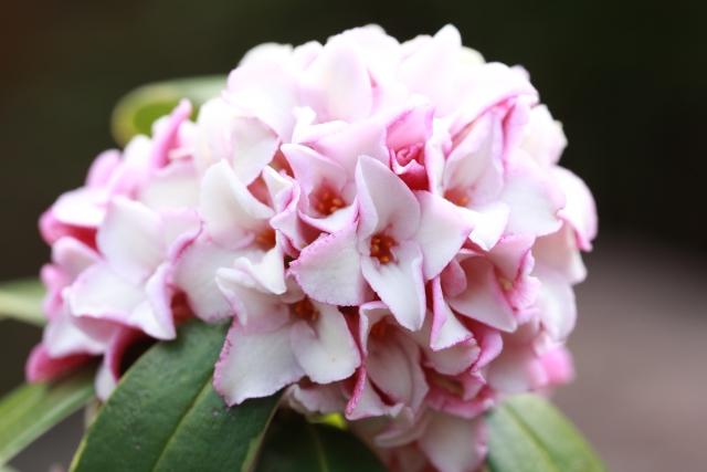 沈丁花(ジンチョウゲ)の花言葉とは?種類別、色別に花言葉はある?
