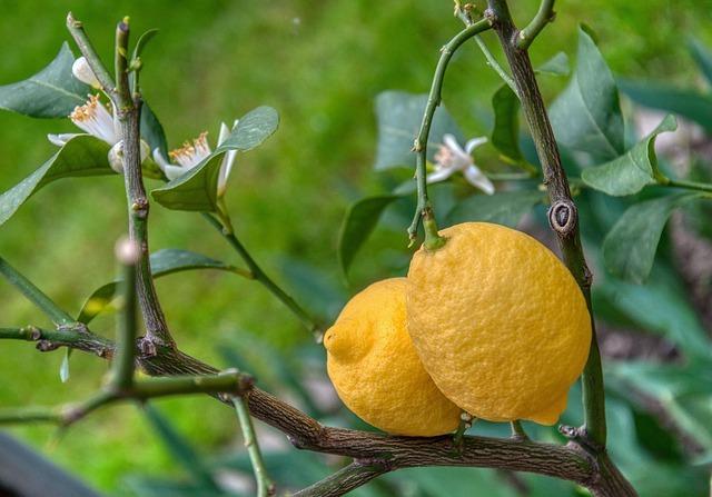レモンの木の剪定方法!剪定が必要なケース・時期・やり方をご紹介!