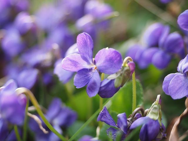 ニオイスミレとは?花の香り・開花時期などの特徴や育て方をご紹介!