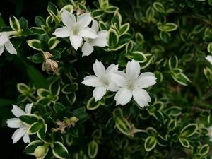 ハクチョウゲとは?特徴や育て方をご紹介!開花時期や季節はいつ頃?