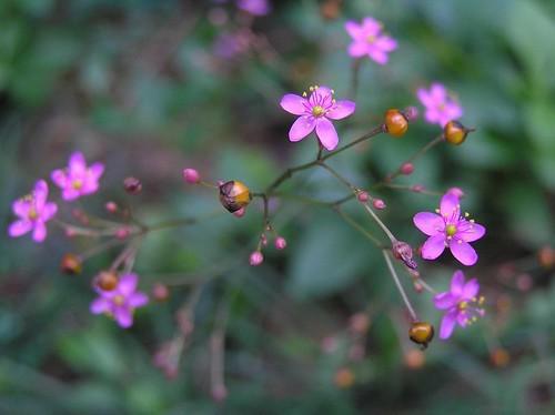 ハゼランとは?植物としての特徴・種類・開花時期などをご紹介!