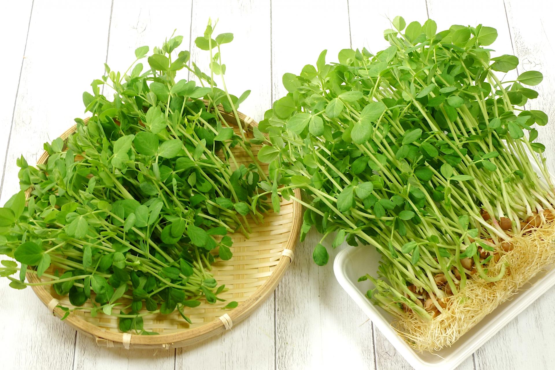 豆苗の再生栽培での育て方!2・3回と収穫を楽しむためのコツは?