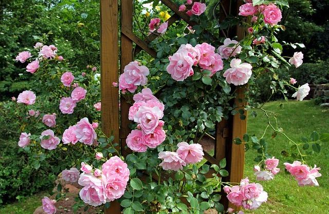 バラを挿し木で増やす方法とは?おすすめの用土や管理の仕方も解説!