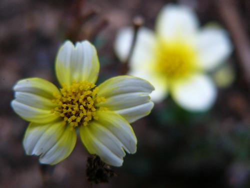 ビデンスの育て方!植え替えの仕方など開花までの管理のコツを解説