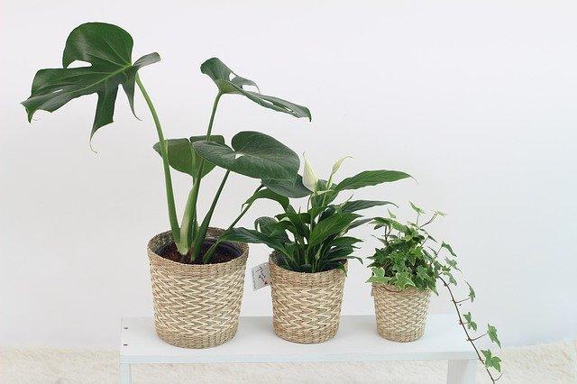 100均の観葉植物おすすめ5選!管理のコツや植え替え方法まで解説!
