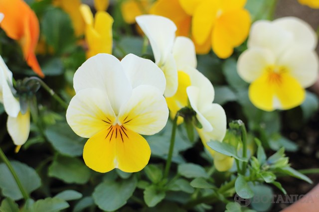 スミレ(菫)の花言葉とは?白・青・紫など色別・種類別にご紹介!
