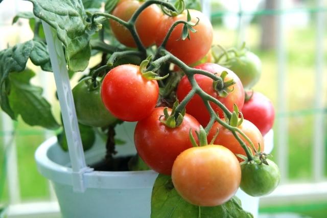 ミニトマトのプランター栽培!初心者でもベランダで上手く育てるには?