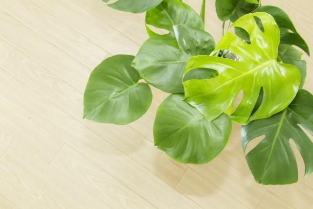ヒメモンステラとは?その魅力や観葉植物としての上手な飾り方を紹介!