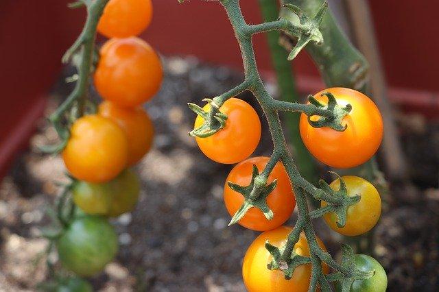 ミニトマトの摘心方法!摘む時期・位置を図解でわかりやすく解説