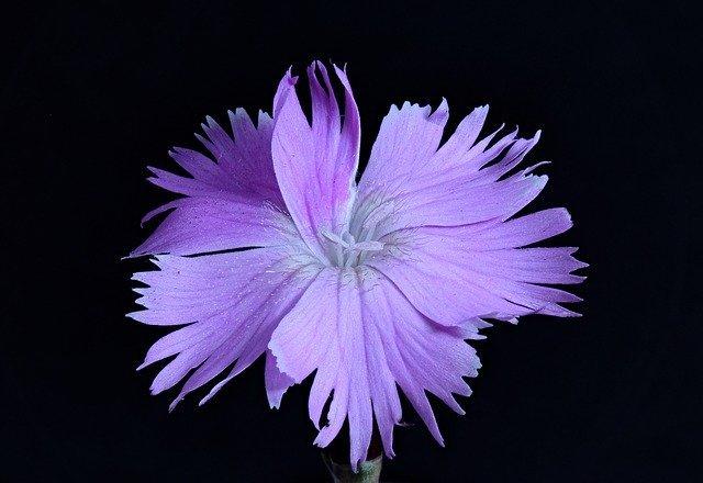 撫子(なでしこ)の花言葉とは?「大和撫子」の意味とも関連がある?