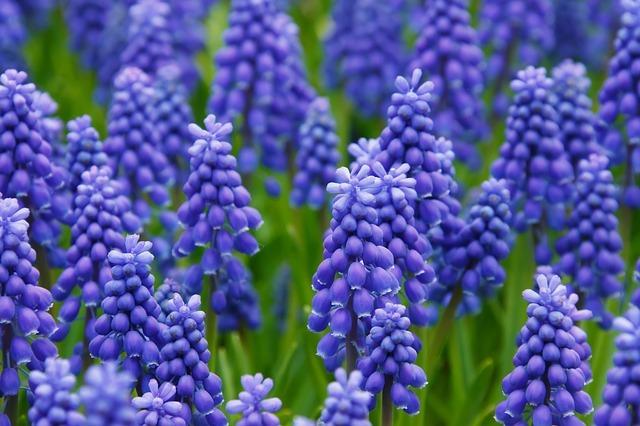 ムスカリの花言葉とは?青や黄色など豊富な品種も詳しくご紹介!