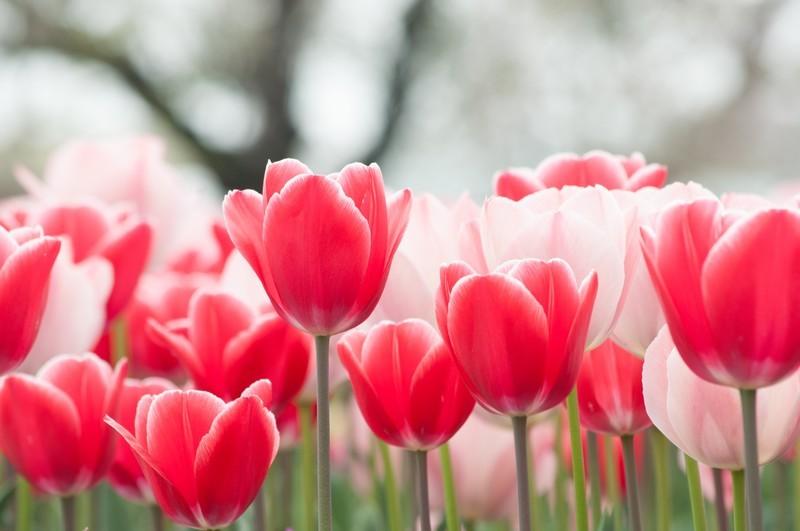 「チューリップ」の花言葉は?赤・白・黄色など色別・種類別に紹介!