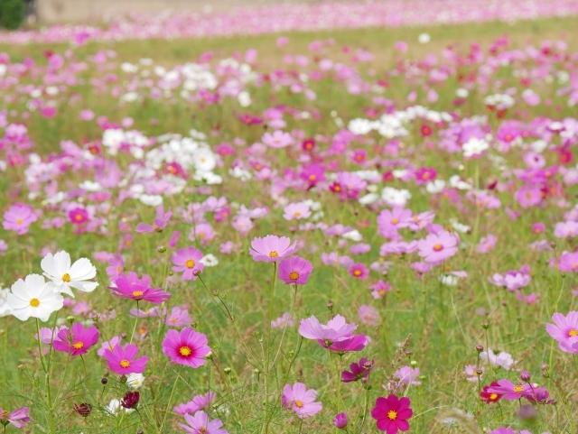 「コスモス」の花言葉とは?赤・白・ピンクなど色別・種類別に紹介!
