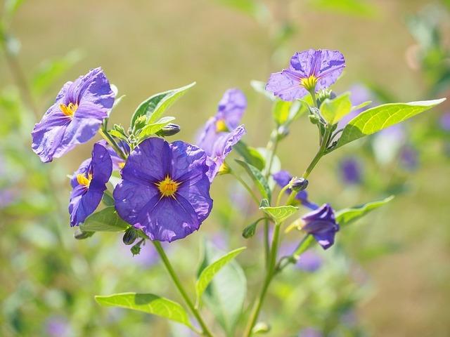 じゃがいもの花の役割とは?花が咲いた時は摘むべき?摘まないべき?