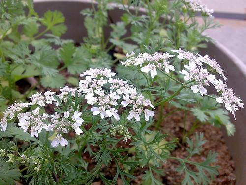 パクチーの花は食べられる?花が咲いた時にすべき対処法をご紹介!